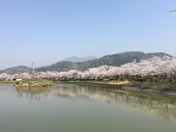 北条大池公園の桜も満開です!_b0100229_15412851.jpg