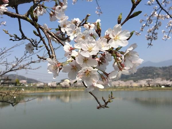 北条大池公園の桜も満開です!_b0100229_15415908.jpg