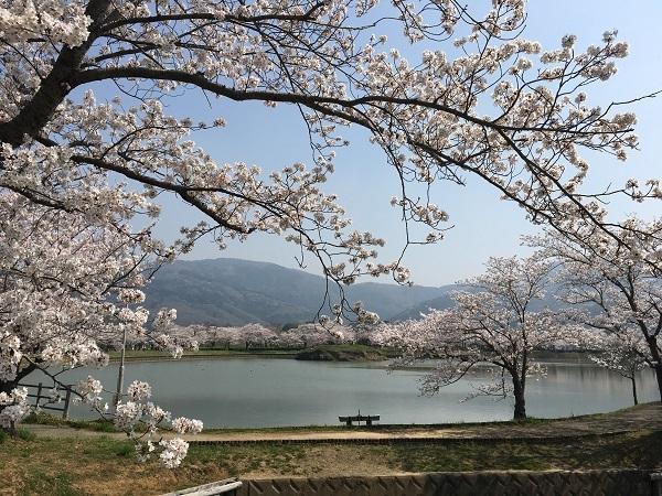 北条大池公園の桜も満開です!_b0100229_15423335.jpg