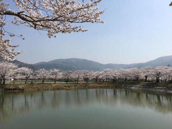 北条大池公園の桜も満開です!_b0100229_15432570.jpg