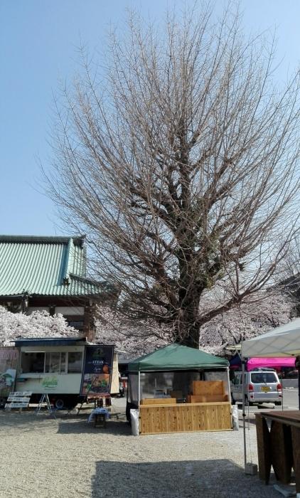 東別院さんは桜が満開でした_e0155231_07241247.jpg