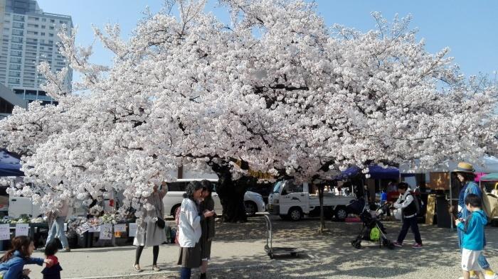 東別院さんは桜が満開でした_e0155231_07250965.jpg