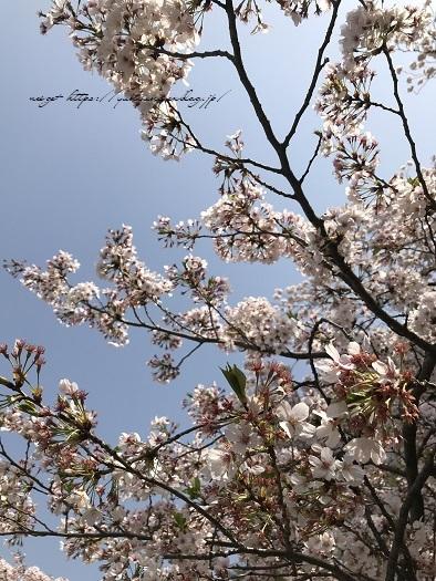 JRとくとく切符で都内へお出かけ巡り♪上野恩賜公園の桜&東京都美術館(AJC)_f0023333_22334879.jpg