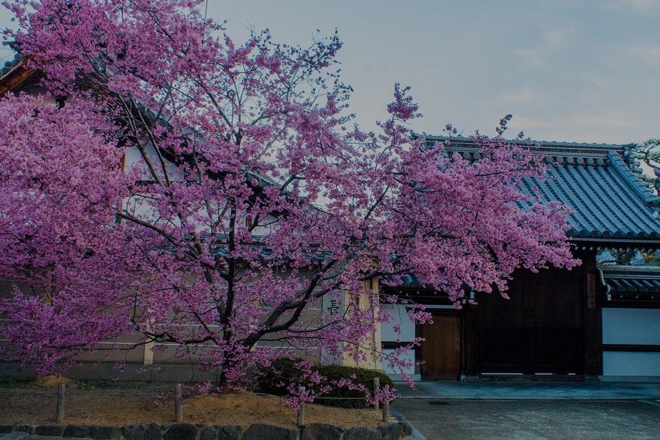 長徳寺のおかめ桜_e0363038_21494556.jpg