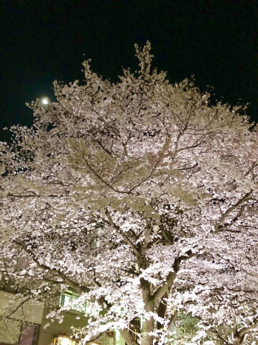 国立駅前の桜が満開に。5/6(日)午後公演Studio BUENO!決定です。_a0103940_06495201.jpeg