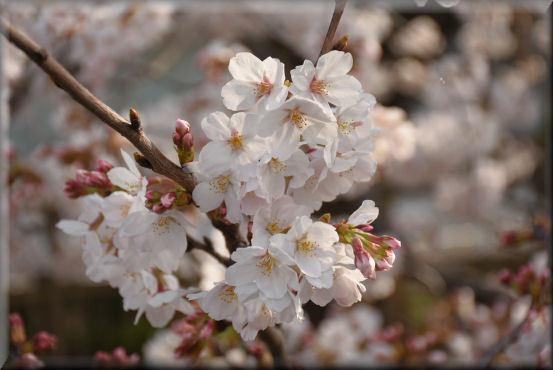 お花見散歩2018 @3月26日_f0363141_13432693.jpg