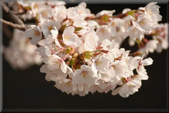 お花見散歩2018 @3月26日_f0363141_13434900.jpg