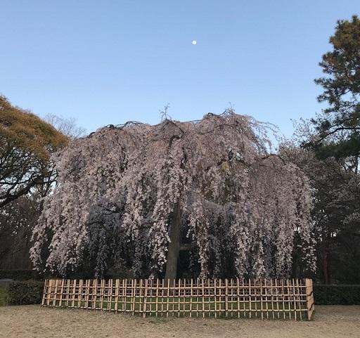 北野をどり・地元京都のお客様・おかもとさんの紅梅弁当_f0181251_18232144.jpg