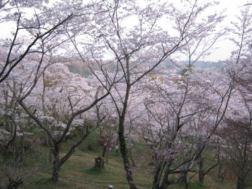 3月29日開花状況_c0363752_14405318.jpg