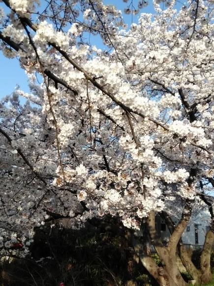桜満開_e0010955_10344465.jpg