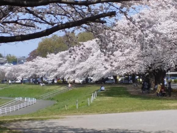 桜、桜、桜吹雪_d0116059_15535917.jpg