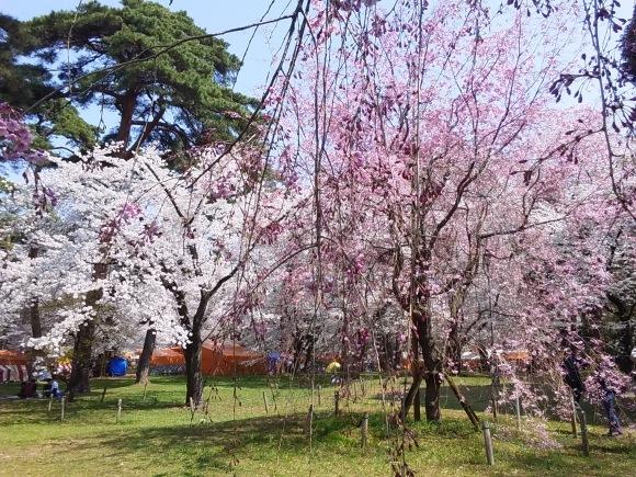 桜、桜、桜吹雪_d0116059_16115191.jpg