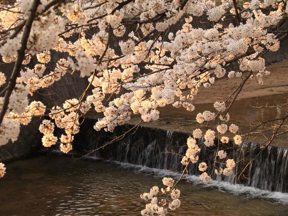 2018年 夙川 ソメイヨシノ_d0202264_22193761.jpg