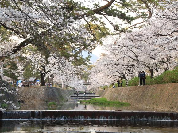 2018年 夙川 ソメイヨシノ_d0202264_22202639.jpg
