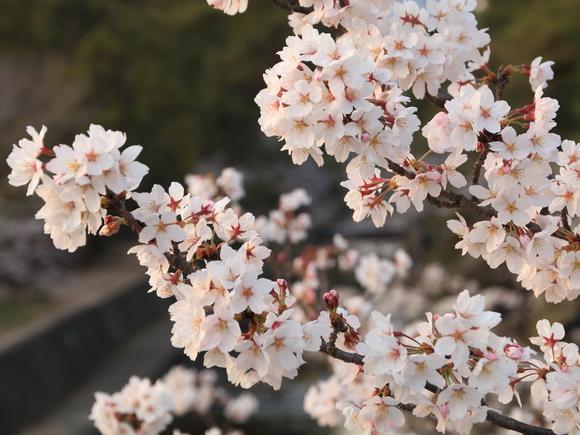 2018年 夙川 ソメイヨシノ_d0202264_2220431.jpg