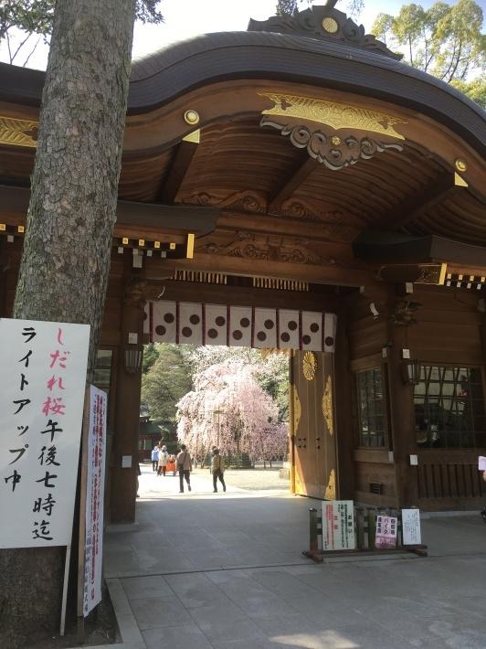 桜満開_b0219170_11465704.jpeg