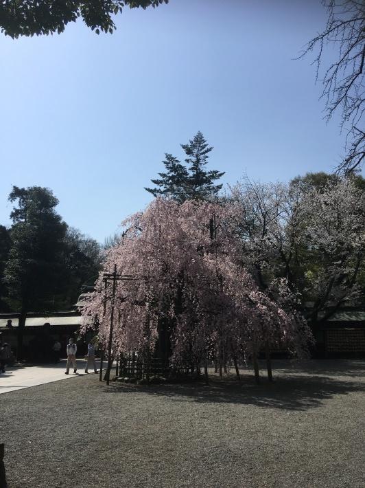 桜満開_b0219170_11474822.jpeg