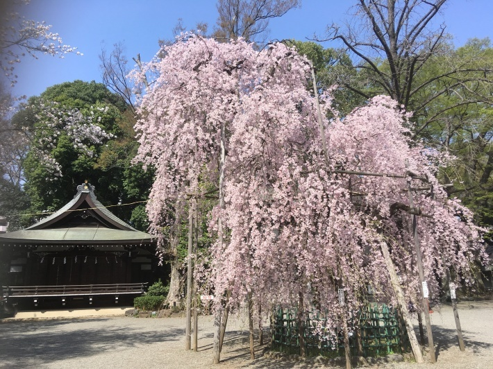 桜満開_b0219170_11484094.jpeg