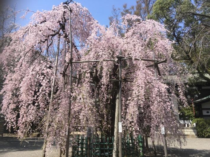 桜満開_b0219170_11493823.jpeg