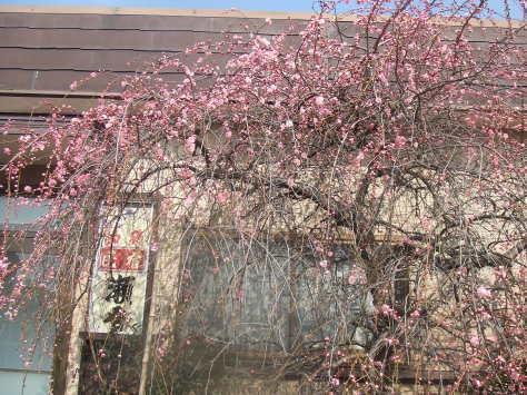 梅から桜_c0086070_16444929.jpg