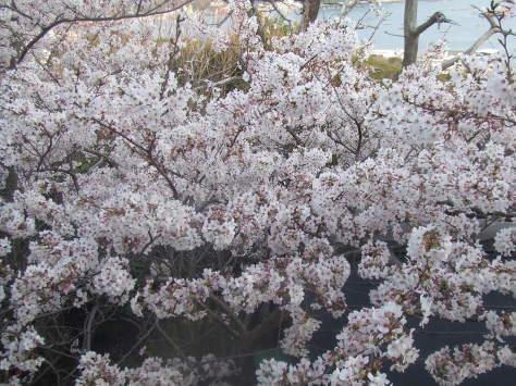梅から桜_c0086070_16471084.jpg