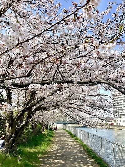 桜満開。_c0130172_13503263.jpg