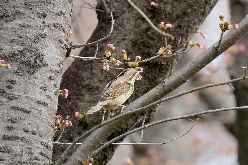 桜と鳥を写したくって・・・_f0368272_23032286.jpg