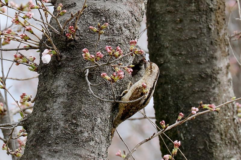 桜と鳥を写したくって・・・_f0368272_23061228.jpg