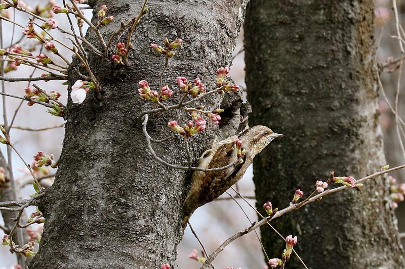 桜と鳥を写したくって・・・_f0368272_23062139.jpg