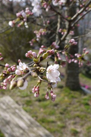 桜だより② 〜開花宣言と土筆とり〜_c0334574_16561591.jpg