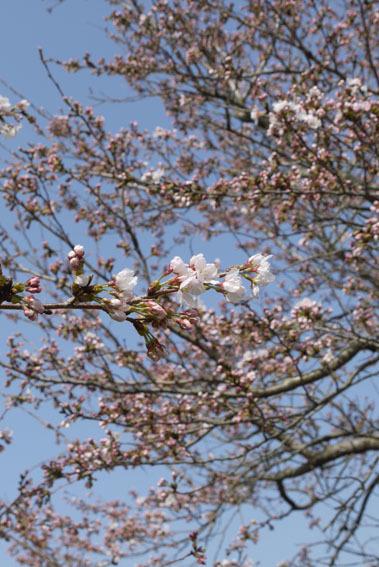 桜だより② 〜開花宣言と土筆とり〜_c0334574_16575034.jpg