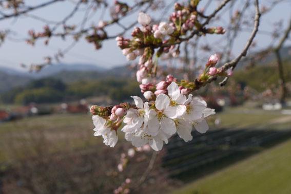 桜だより② 〜開花宣言と土筆とり〜_c0334574_16582426.jpg