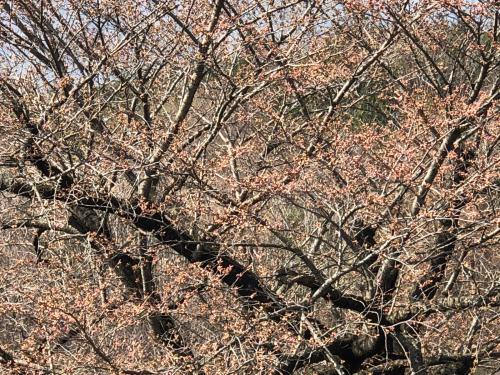 div>桜桜桜桜咲くか_d0338282_11321738.jpg