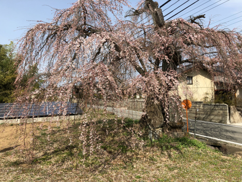 しだれ桜が開花。_d0338282_20160196.jpg