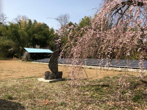 しだれ桜が開花。_d0338282_20163885.jpg