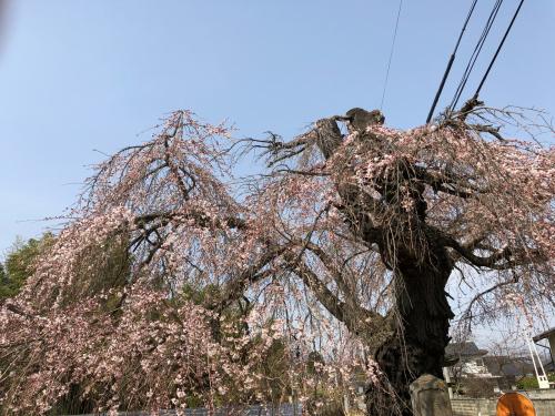 しだれ桜が開花。_d0338282_20164815.jpg