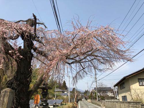 しだれ桜が開花。_d0338282_20170286.jpg