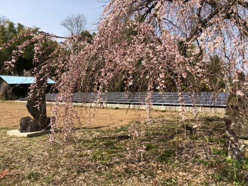 しだれ桜が開花。_d0338282_20171657.jpg