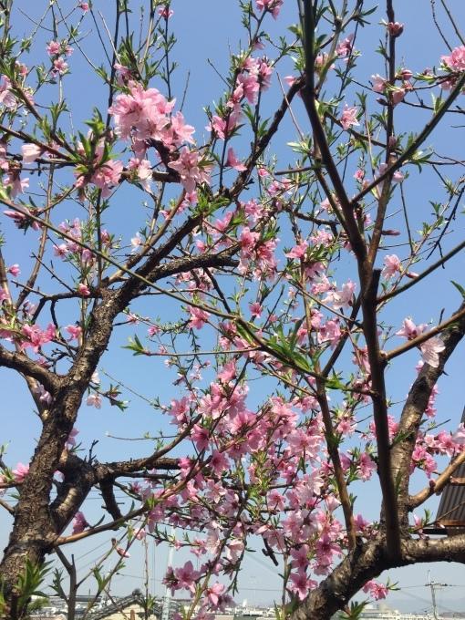 桜もいいけど桃だって咲いている_e0385587_01330791.jpeg