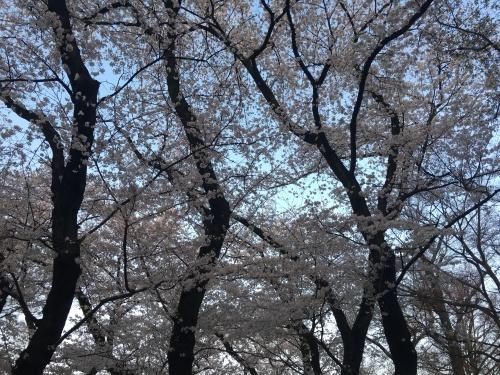 井の頭公園の桜.*✿_f0230689_20573870.jpeg