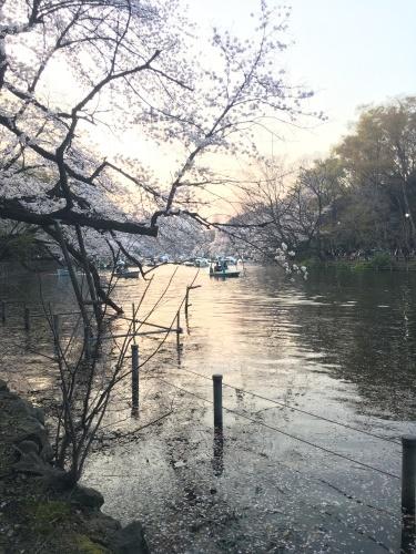 井の頭公園の桜.*✿_f0230689_20575061.jpeg