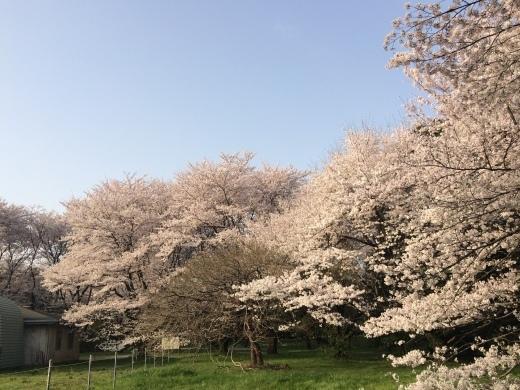 桜の天国で_f0219590_22334479.jpg