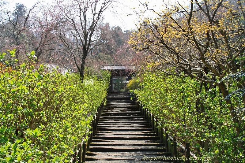 鎌倉の桜 明月院_f0374092_21040412.jpg