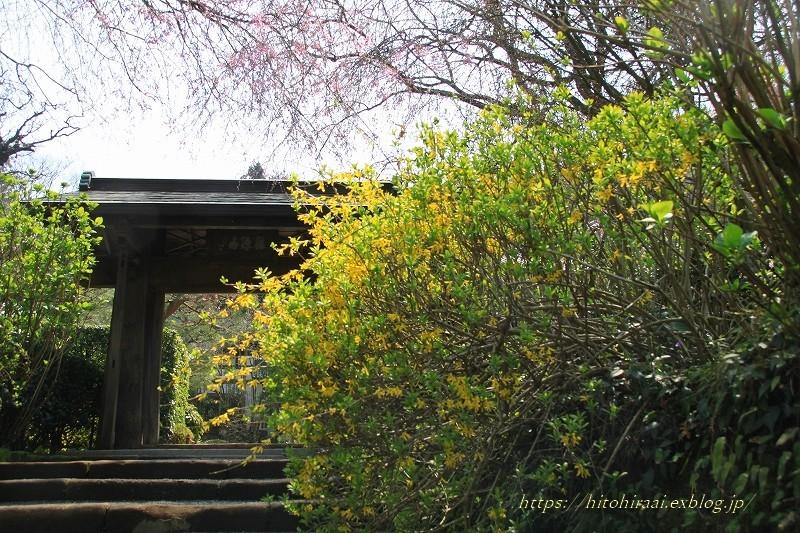 鎌倉の桜 明月院_f0374092_21083555.jpg