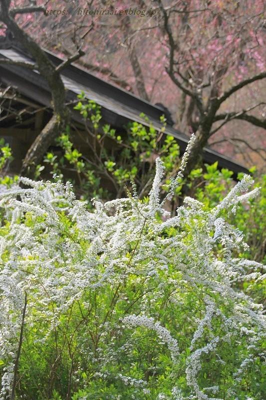 鎌倉の桜 明月院_f0374092_21163598.jpg