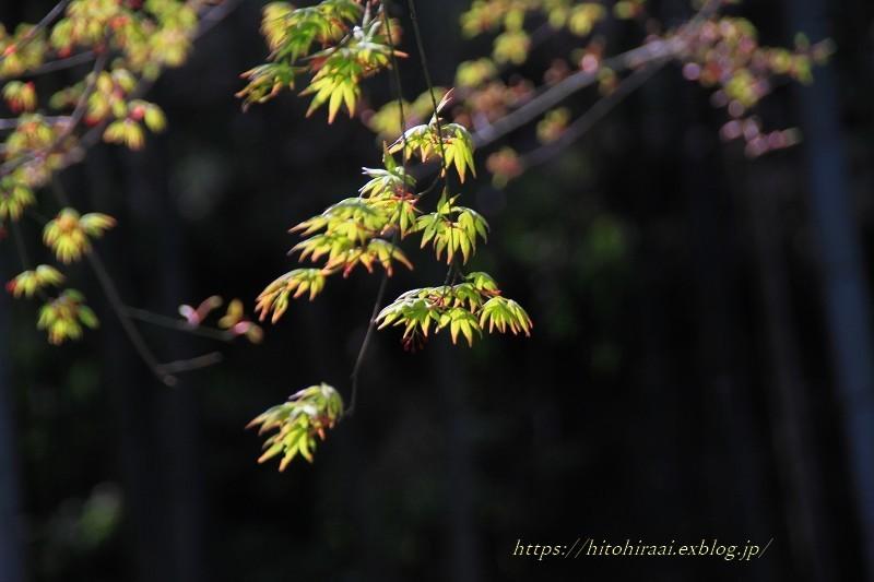 鎌倉の桜 明月院_f0374092_21165804.jpg