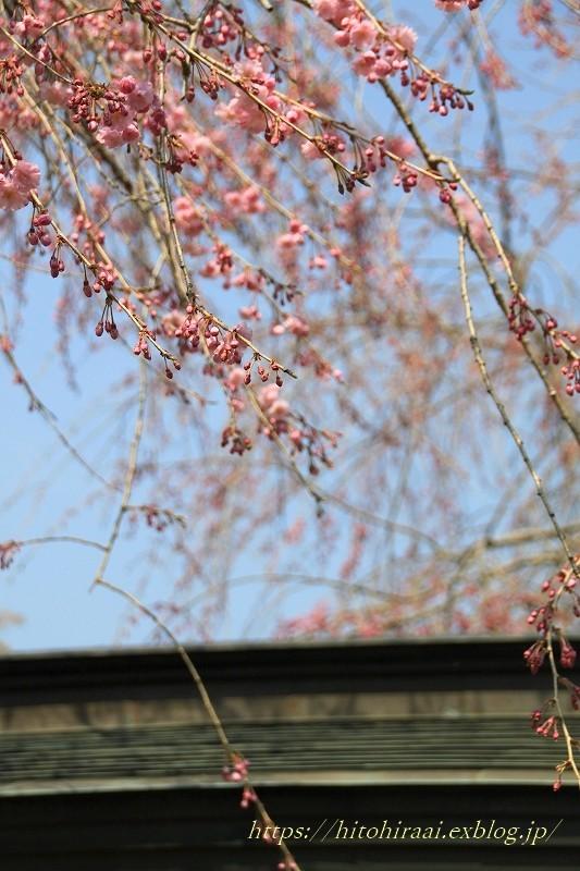 鎌倉の桜 明月院_f0374092_21351976.jpg