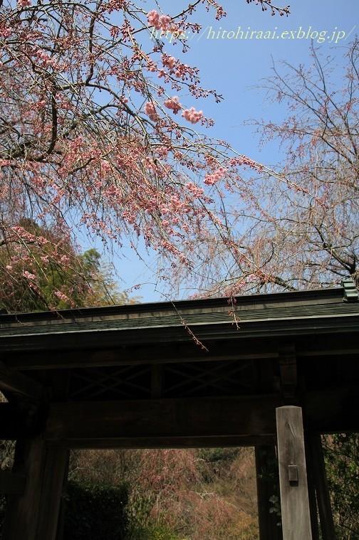 鎌倉の桜 明月院_f0374092_21355108.jpg