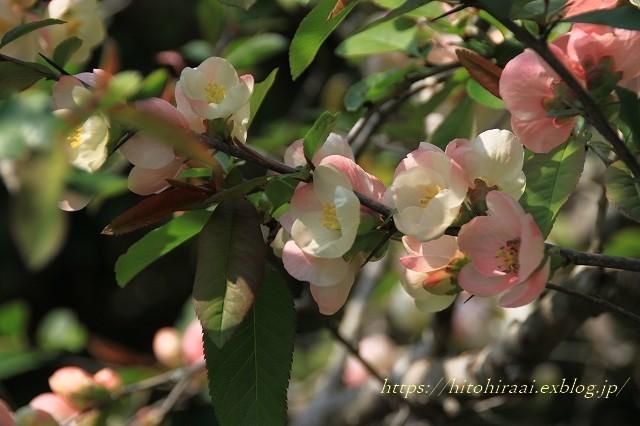 鎌倉の桜 明月院_f0374092_21374286.jpg