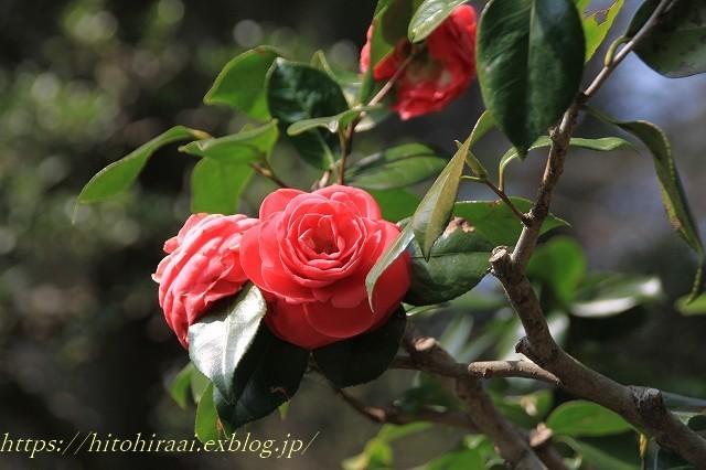 鎌倉の桜 明月院_f0374092_21380896.jpg